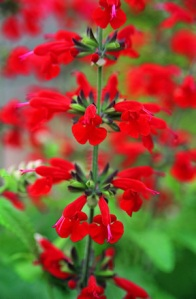 Salvia 'Summer Jewel Red'